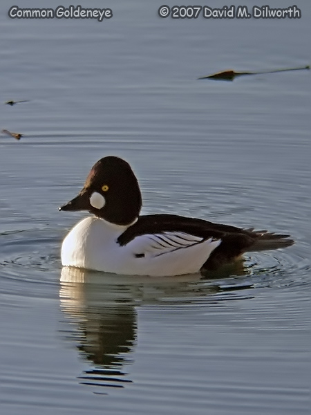 v250m17 Common Goldeneye
