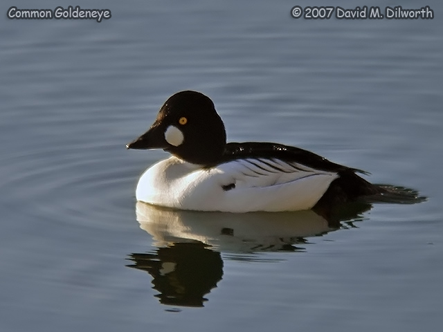 250m18 Common Goldeneye