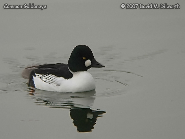 250m2 Common Goldeneye