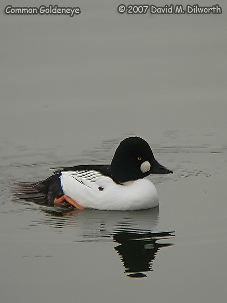 v250m3 Common Goldeneye