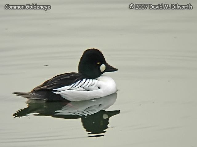 250m7 Common Goldeneye
