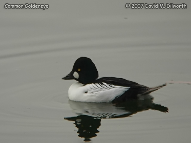 250m8 Common Goldeneye