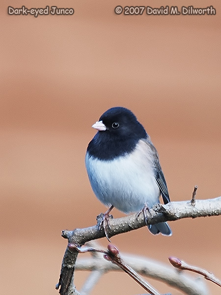 v255 Dark-eyed Junco