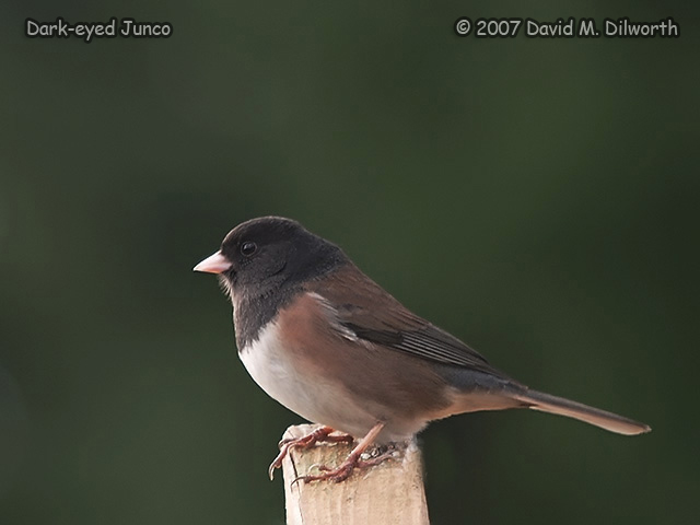 255m Dark-eyed Junco