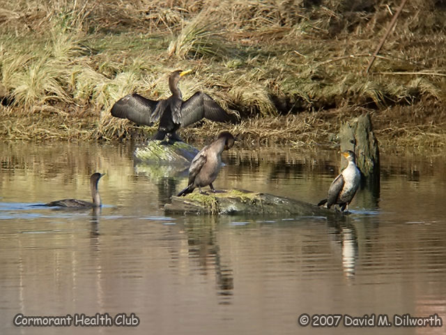 260 Double-crested Cormorant