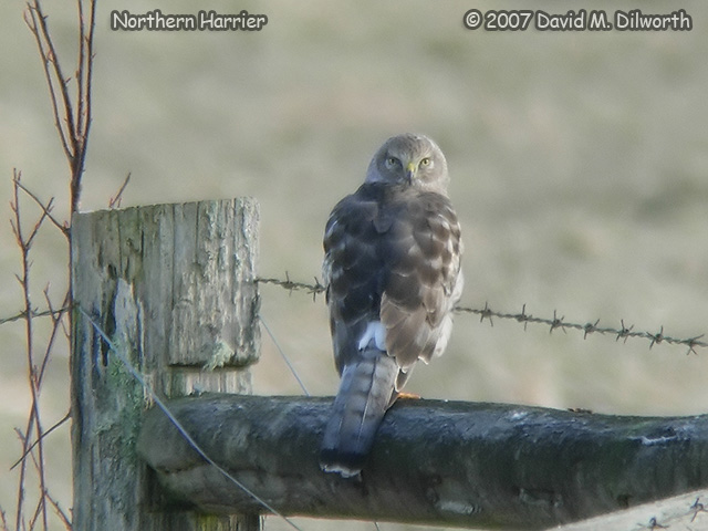 261 Northern Harrier