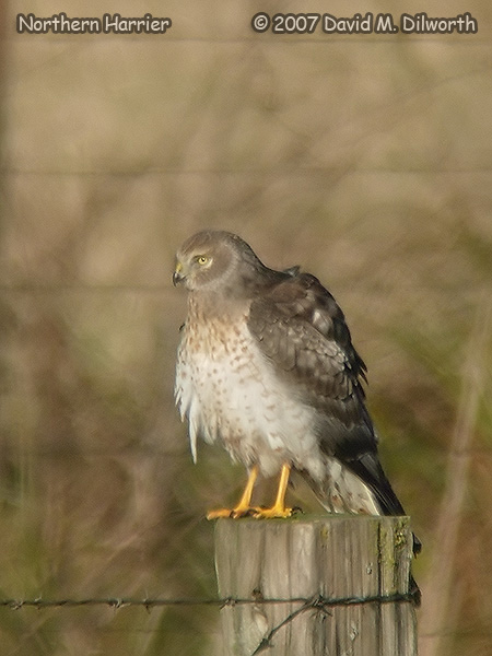 v262 Northern Harrier