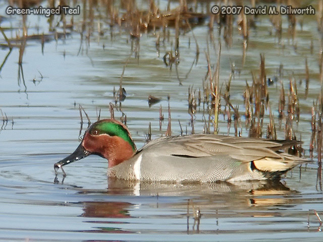 264 Green-winged Teal