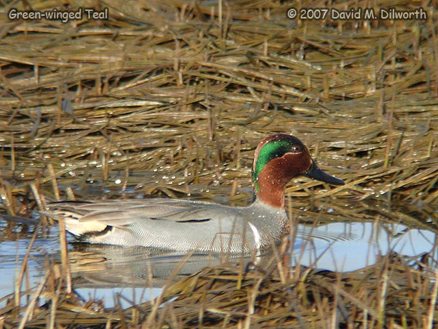 264m1 Green-winged Teal