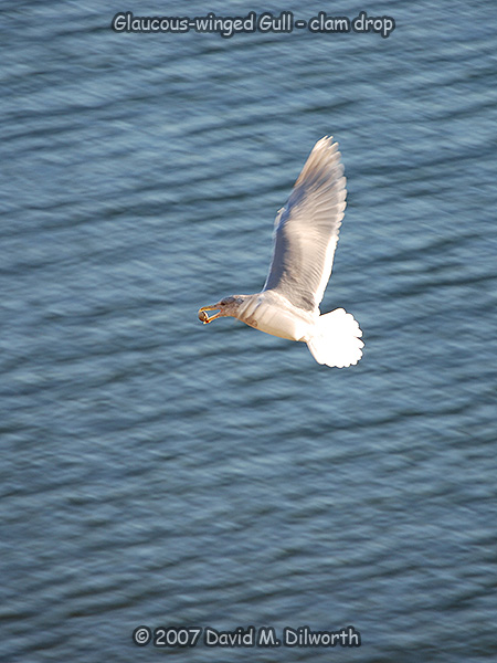 v268 Glaucous-winged Gull