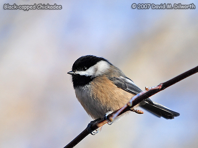 269 Black-capped Chickadee