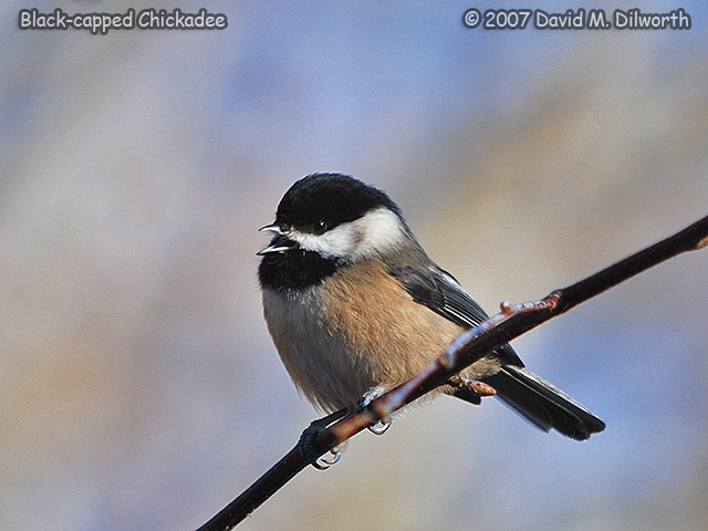 269m1 Black-capped Chickadee
