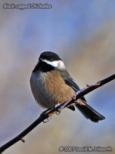 v269m3 Black-capped Chickadee