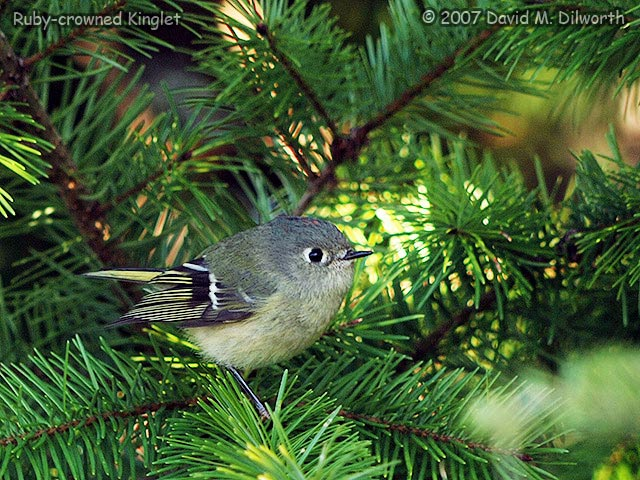 277 Ruby-crowned Kinglet