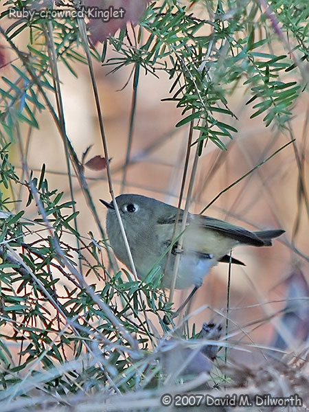v277m1 Ruby-crowned Kinglet
