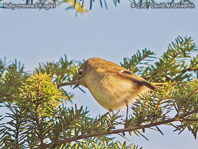 277m3 Ruby-crowned Kinglet