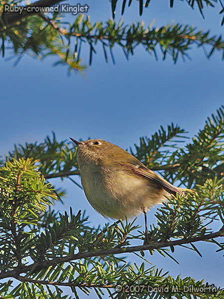v277m4 Ruby-crowned Kinglet