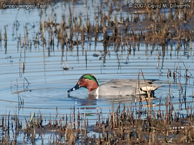 278 Green-winged Teal