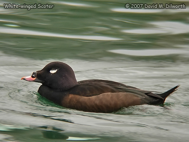 281m3 White-winged Scoter