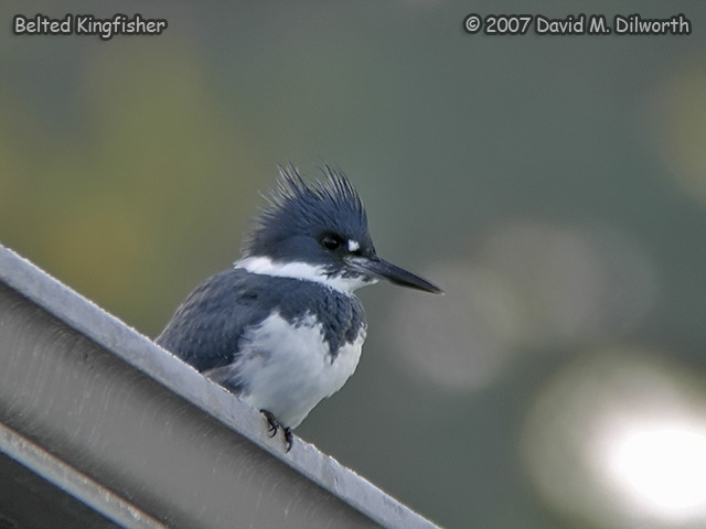 282 Belted Kingfisher
