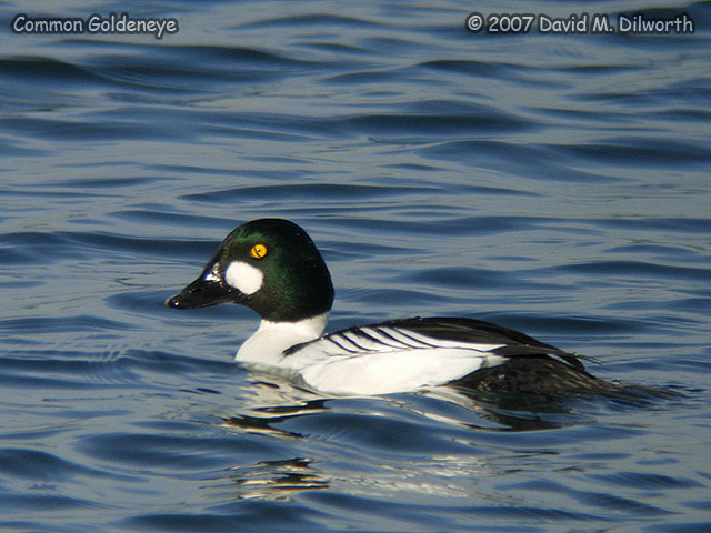 285m2 Common Goldeneye