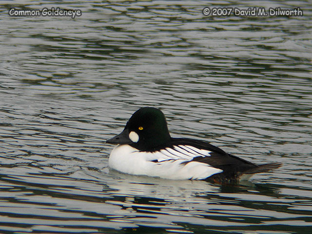 286m1 Common Goldeneye