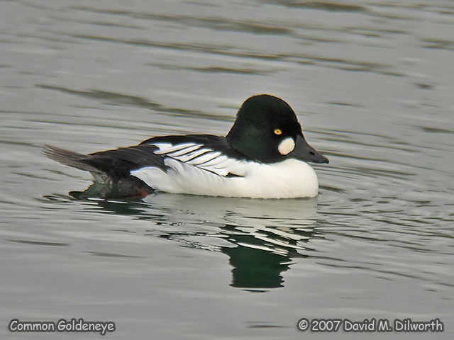 286m2 Common Goldeneye