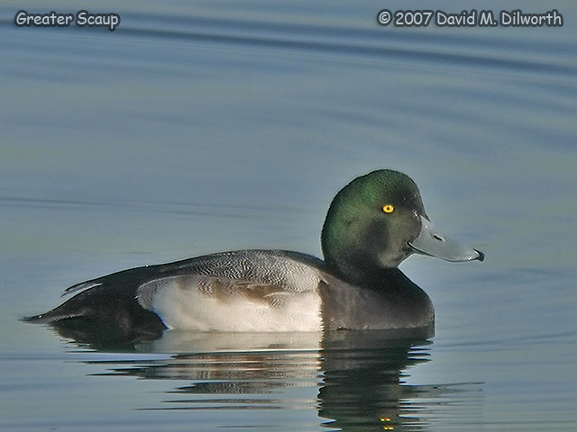 287 Greater Scaup