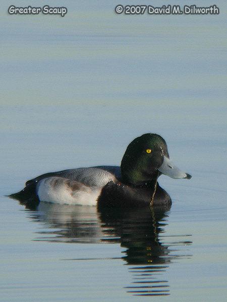 v287m1 Greater Scaup