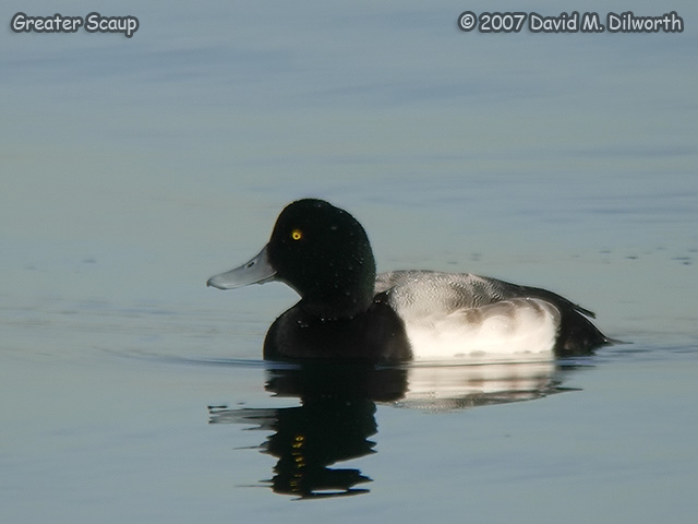 287m2 Greater Scaup