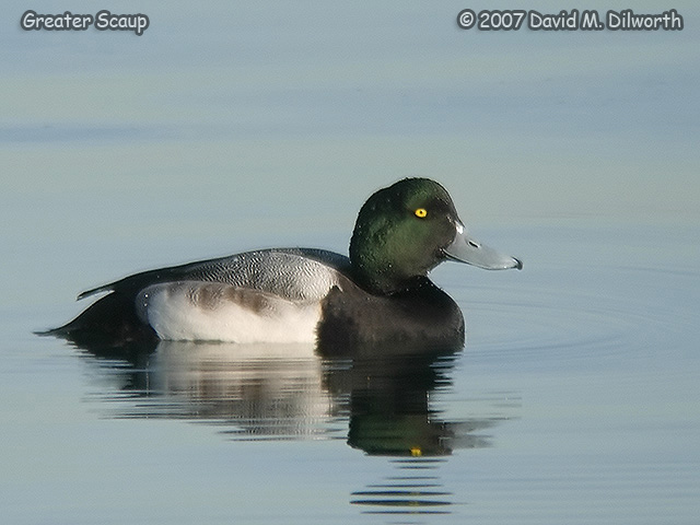287m3 Greater Scaup