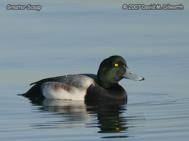 288 Greater Scaup
