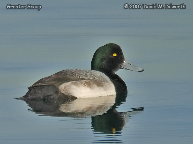 288m3 Greater Scaup