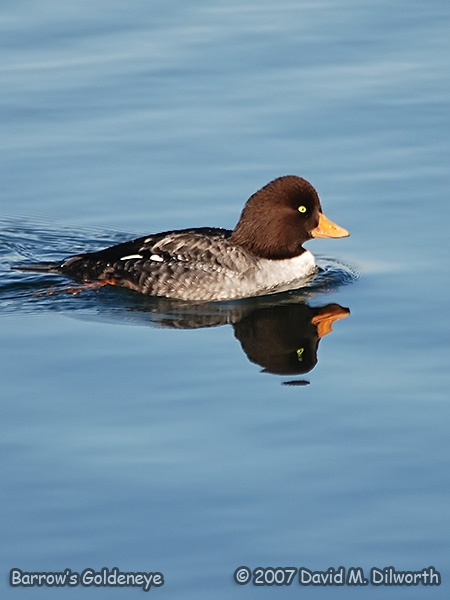 v292m1 Burrow's Goldeneye