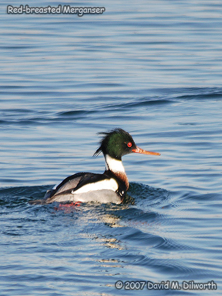 v295m Red-breasted Merganser