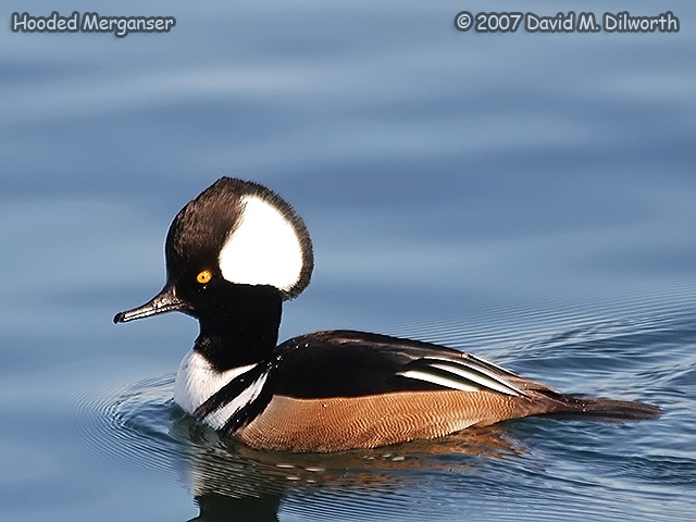 299 Hooded Merganser