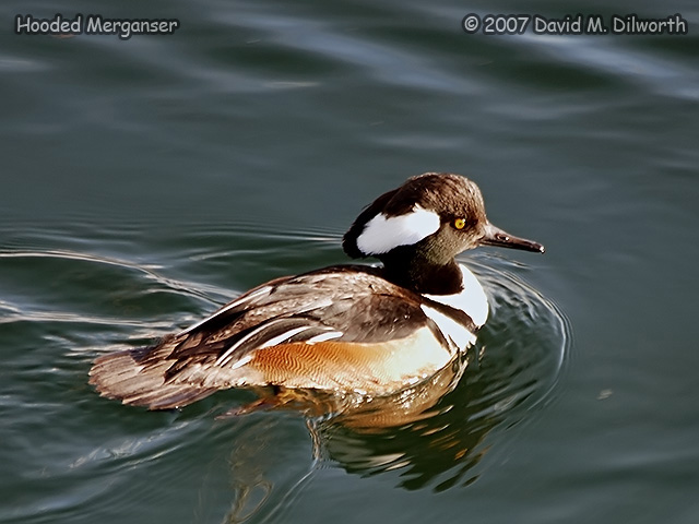 299m1 Hooded Merganser