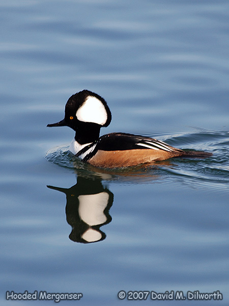v299m2 Hooded Merganser