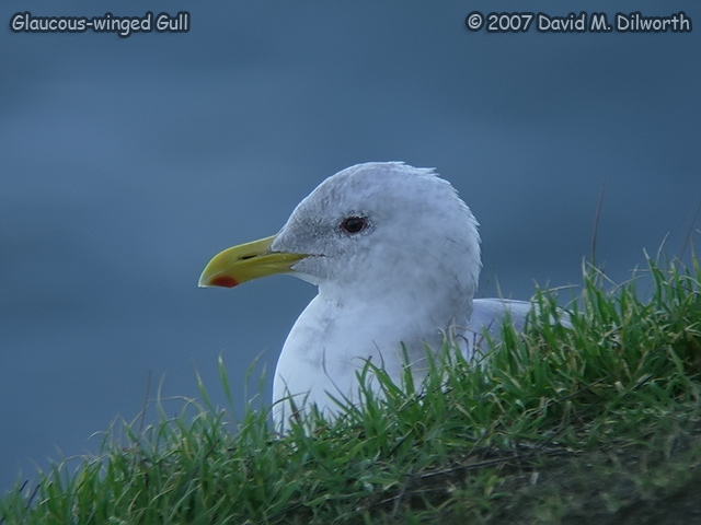 302 Glaucous-winged Gull