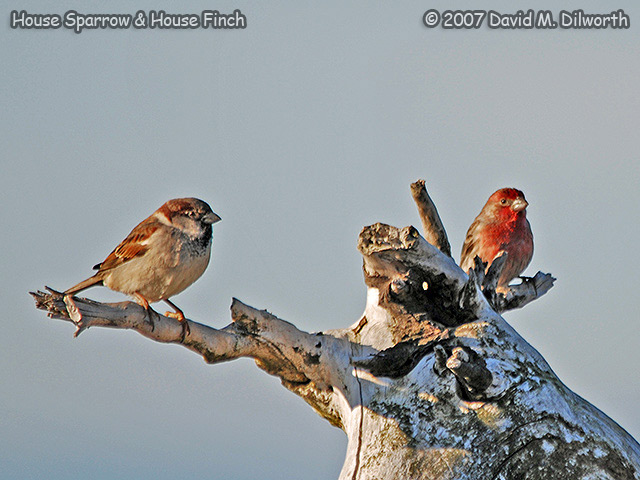304 House Sparrow and House Finch