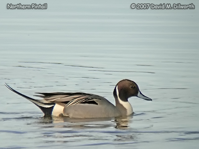 305 Northern Pintail