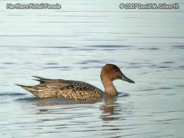 305m1 Northern Pintail Female