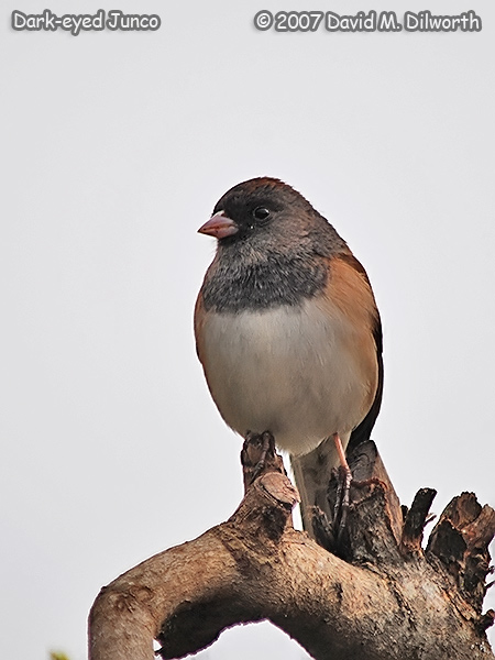 v314 Dark-eyed Junco