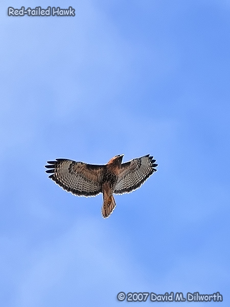 v315m1 Red-tailed Hawk