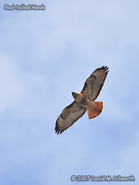 v315m2 Red-tailed Hawk