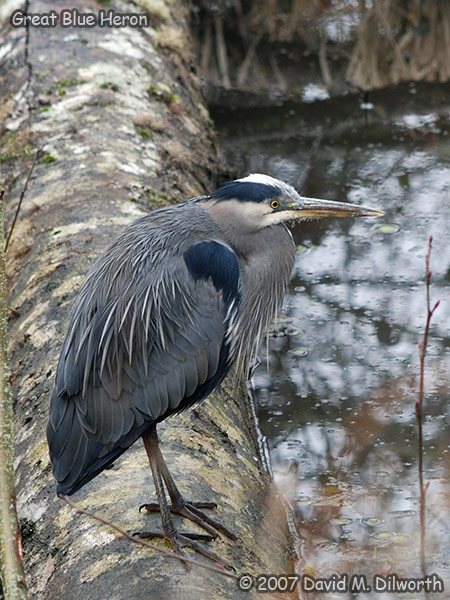 v317 Great Blue Heron