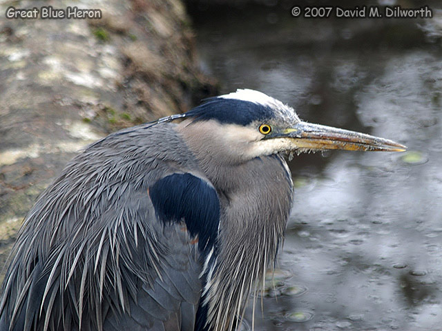 317m Great Blue Heron