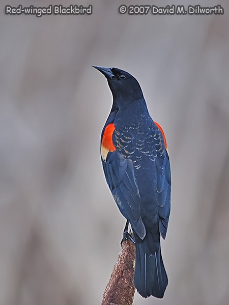 v318m2 Red-winged Blackbird