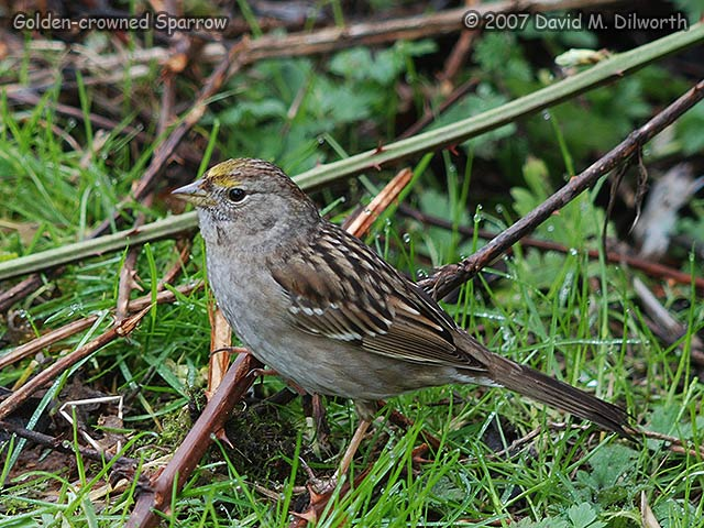 319 Golden-crowned Sparrow
