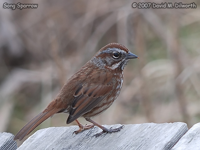 320m1 Song Sparrow